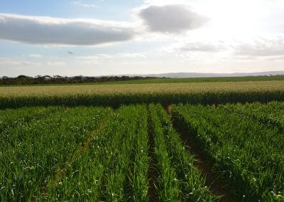 Time of sowing influence on phosphorus requirements and soil testing